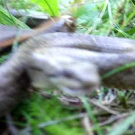 Rézsikló (Coronella austriaca) támadás